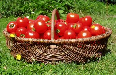 tomaten0809