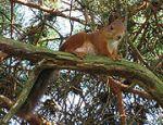 Ratatosk, de eekhoorn