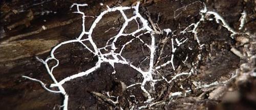 02f19dcff0 Vorig jaar op 3 oktober propten we, in familieverband, een paar  eikenstammetjes vol met mycelium plugs van 'Lentinula edodes', de shitake,  ...