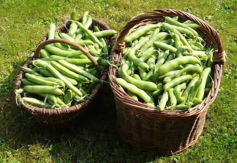 Oogst van tuinbonen
