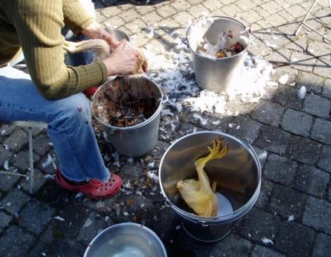 Jonge kippen slachten