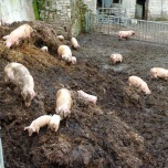 Life can be easy and very satisfying on goats' manure