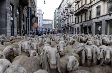 Renato Zucchelli met zijn schapen in Milaan