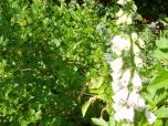 29 mei - stekelbessen en vingerhoedskruid