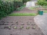 4 mei - brocoli en chinese kool in de grond
