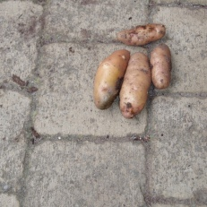 Bamberger Hörnchen van Laat 1700, goed voor 185 gram. Herkomst: Beieren Yellow to pink slin, yellow flesh, crescent shaped tubers. Late to ripe, robust in cultivation. Excellent taste. One of the oldest varieties documented in Europe