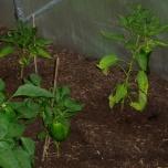 Paprika en pepers, meer vrucht dan plant
