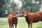 Salers koeien