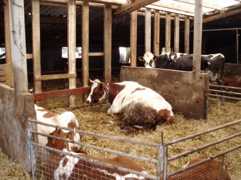 De koeien keken en zagen dat het goed was
