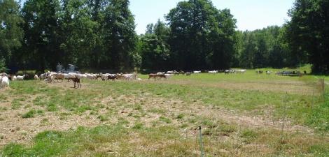 De geitenkudde op 't Goerenhof